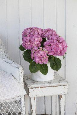 Rosa hortensia i hvit Grow-in selvvanningsbag.