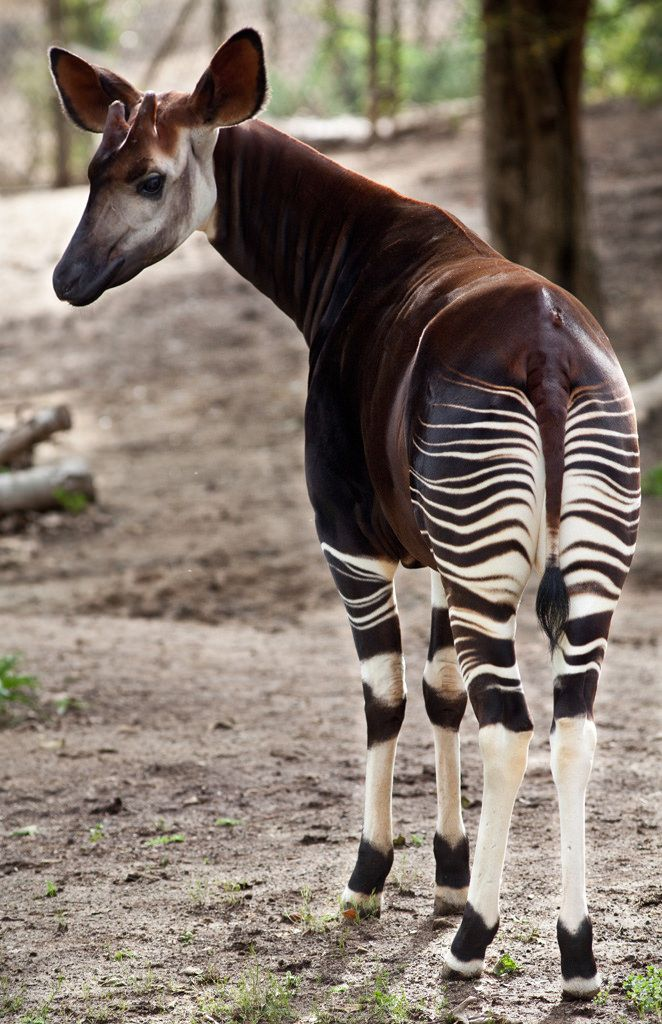 Okapi | Although it is striped like a zebra, the okapi is mo… | Flickr
