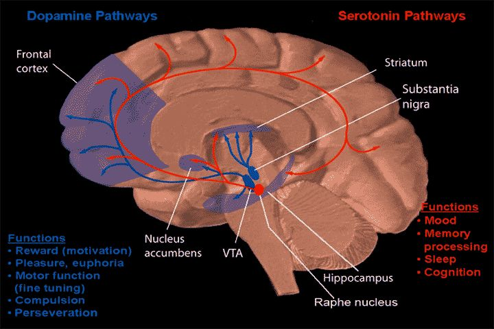 Dopamine and serotonin pathways - Nucleus accumbens - Wikipedia, the free encyclopedia