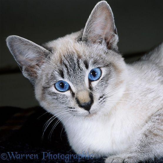 Best Quiet Cat Breeds