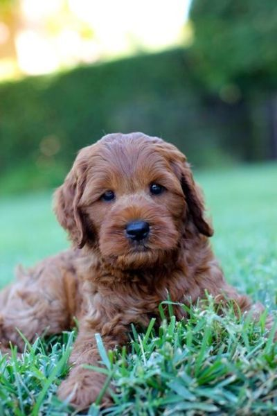 Dogs That Don't Shed? - [40 Best Non Shedding Breeds]