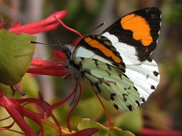 Eroessa chilensis. Fotografía, René Canifrú.