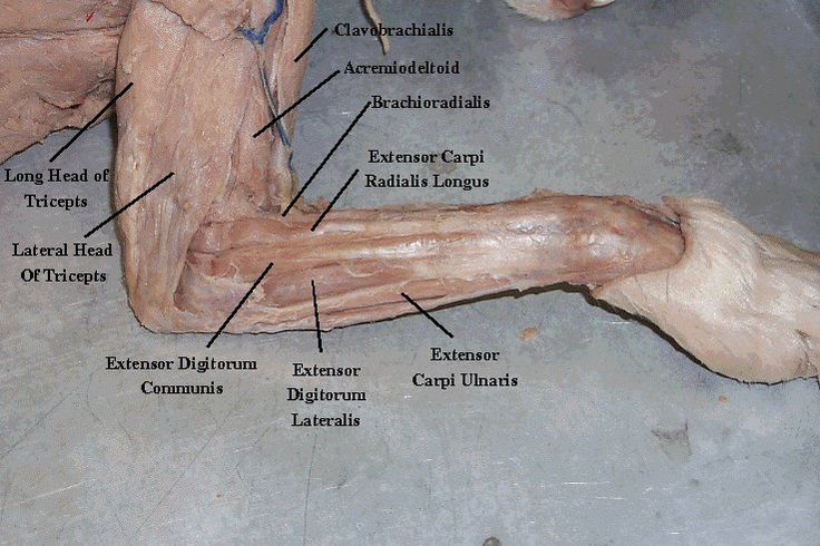 Cat muscles anatomy