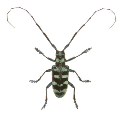 Longhorn beetle wings dress