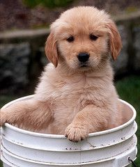 http://angelaharris.hubpages.com/hub/Golden-Retriever-Pictures
