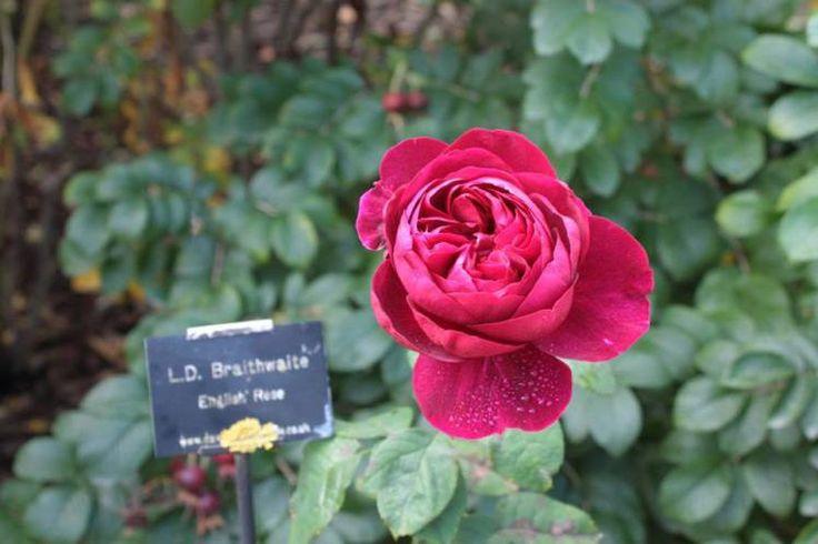 English Rose, Alnwick Garden, Northumberland UK