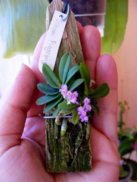 Mini Orquídeas: Esses maravilhosos espécimes são de fácil manuseio e cuidado. Podem ser plantadas em uma mistura de musgos e cascas, devem ficar em ambientes bem iluminados, porém, sem luz direta. Evite lugares com excessiva corrente de ar e mantenha o ambiente úmido. Borrife água para irriga-la mas tome cuidado para que suas raízes não fiquem encharcadas, pois suas raízes podem apodrecer.  Utilize fertilizantes NPK 10:10:10 uma vez ao mês diluindo 1/3 da diluição recomendada.