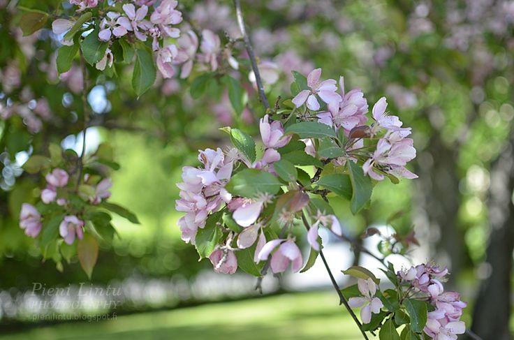 Vaaleanpunaiset puut