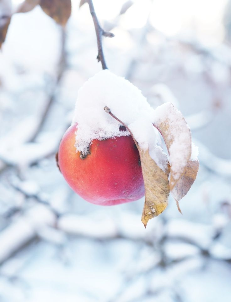 Winter apple for the birds.
