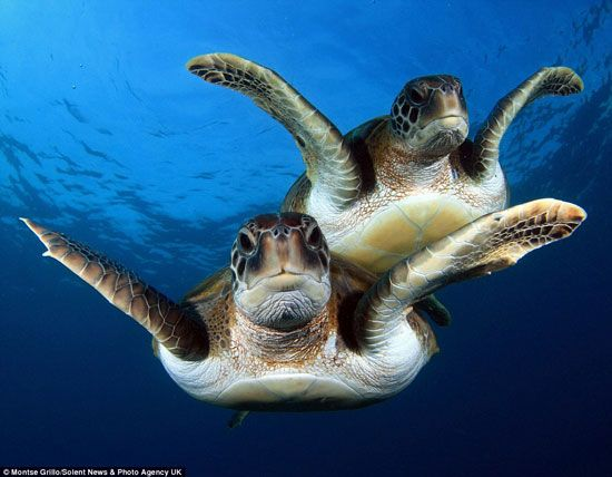 Amazing underwater pictures show two playful turtles swimming up close to two divers and playing around for the camera