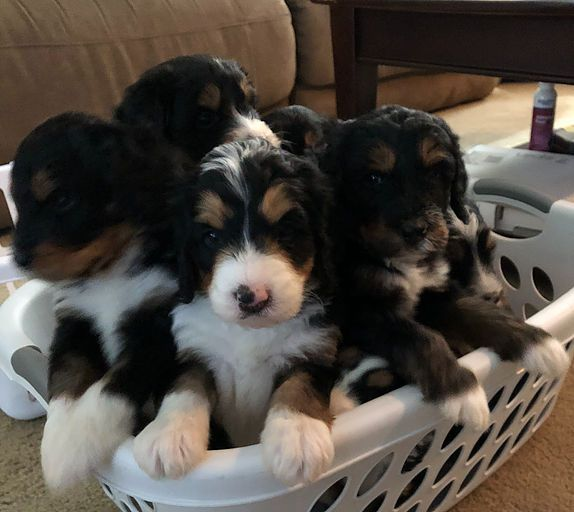 Upcoming Bernedoodle Litters Pricing Mini Bernedoodle Breeder Columbus Buckeye Bernedoodles Bernedoodle Mini Bernedoodle Puppies