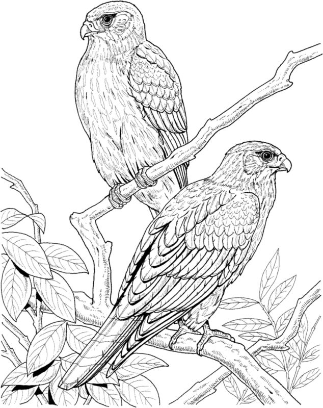 19 best coloring pages birds images on Pinterest Draw Coloring