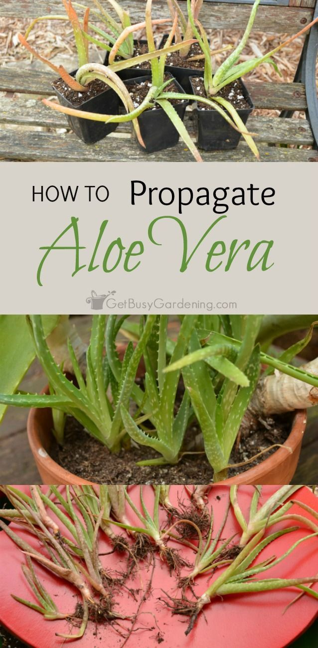 How To Propagate Aloe Vera - Aloe vera is a favorite low maintenance plant. Propagate aloe vera plants by removing the babies from the mother plant, and potting them up on their own. | Get Busy Gardening!