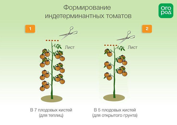 Схема формирования индетерминантных томатов