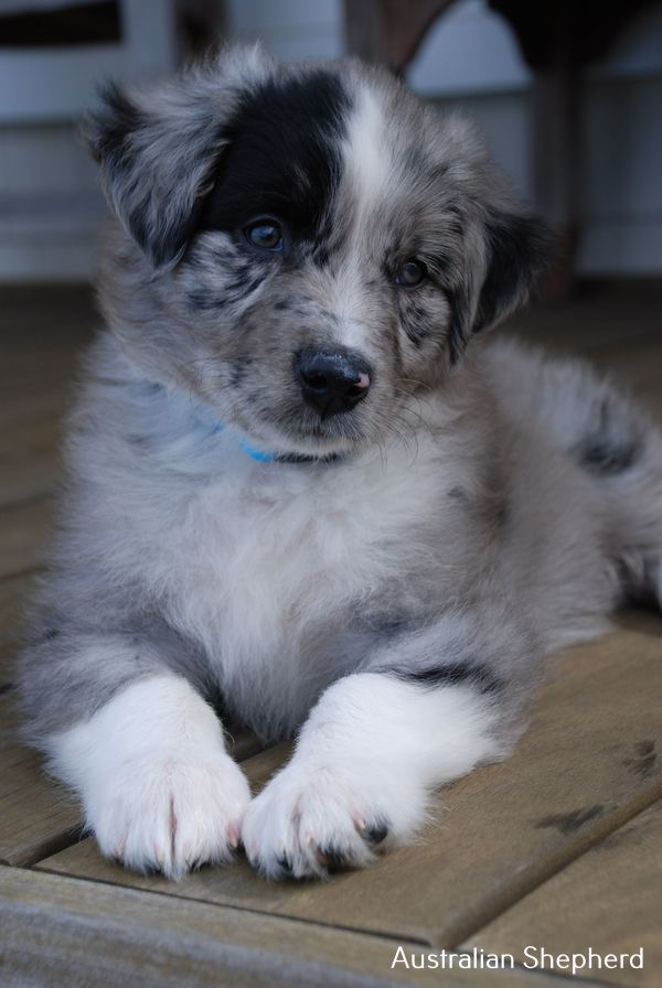 All About Australian Shepherd Puppy Short Hair In 2020 Aussie Dogs