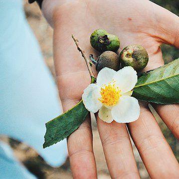 Camellia sinensis the 'Tea Plant' taken on our trip to the plantations in Sri Lanka.   westendteaco.com.au