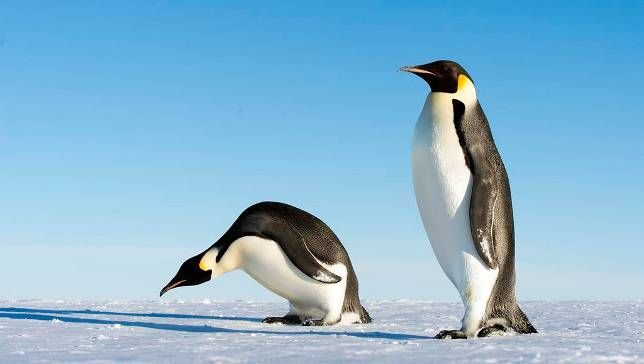 Giant 6-foot-8 penguin discovered in Antarctica The 37-million-year-old penguin would have been comparable to LeBron James in height and weight.