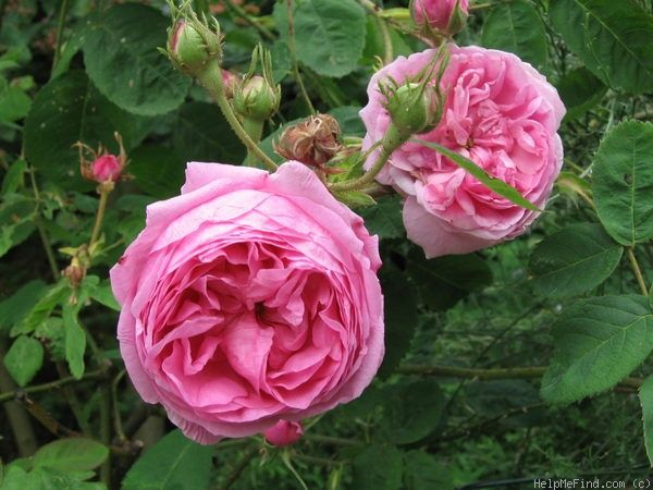 Typ Kassel Rose Photo Rose Photos Rose Rose Varieties