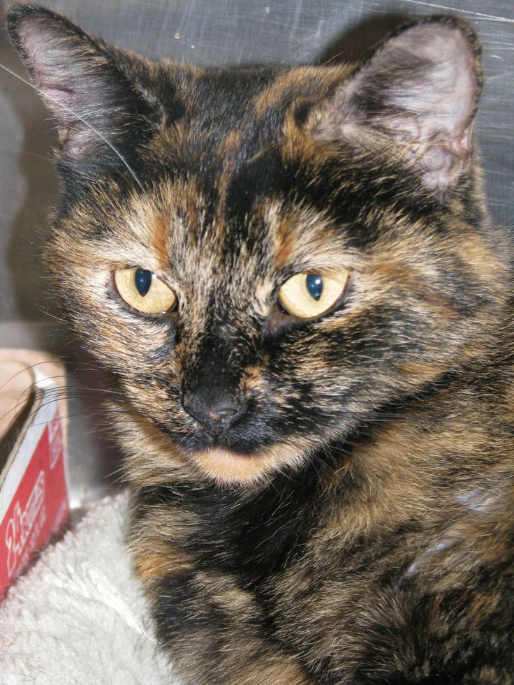 Kit Cat Club has a tortie just like this one for adoption. She is about 5 months old.