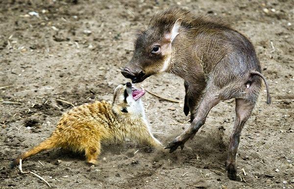 REAL life Timon and Pumba! BFF'S: No Worries, Best Friends, Animal View, Dierenpark Zoos, Animal Photo, Newborn Warthog, The Netherlands, Warthog Plays, Pumbaa Hanging