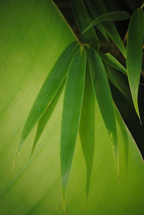 Bamboo leaves on Banana Leaf Photograph  Calgary.isgreen.ca http://www.arcreactions.com/pivotal-energy-trust/