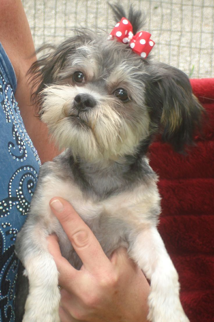 shih tzu mix rescue 15 best ideas about shih tzu rescue on pinterest dog 7639