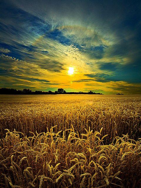 Wheat field before harvest, Saskatchewan.
