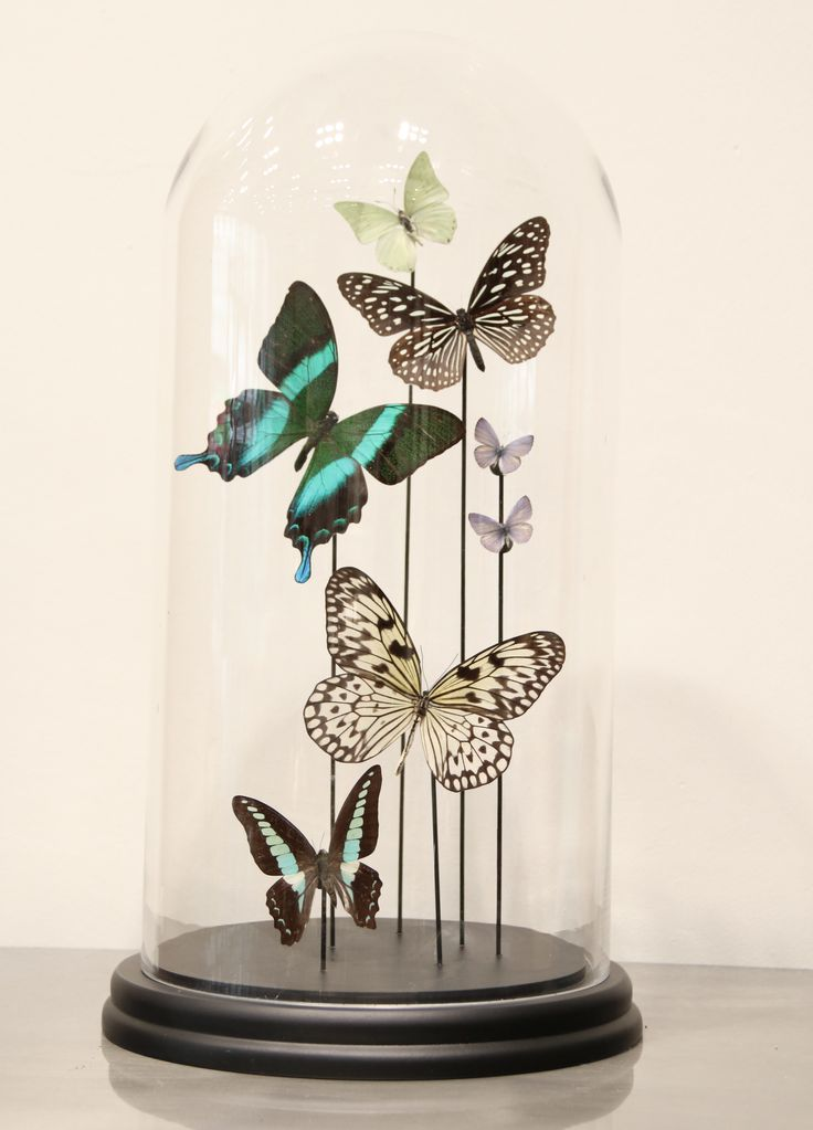 Glass dome with 7 butteflies