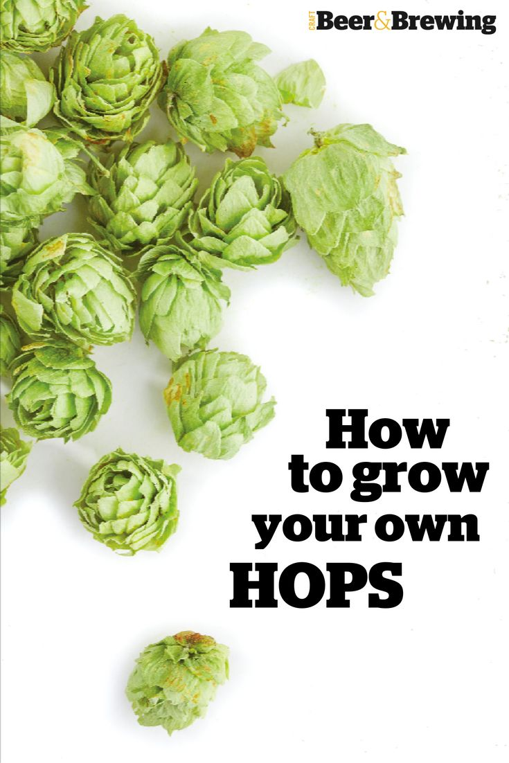 Learn how to grow and harvest your very own hops