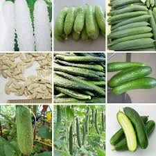 Znalezione obrazy dla zapytania antiguas variedades de pepinos