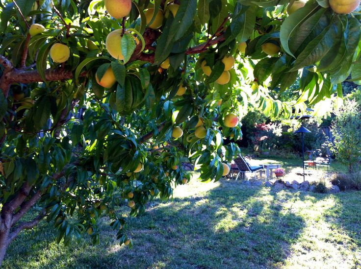 13 best yard edible plants images on pinterest backyard for Peach tree designs