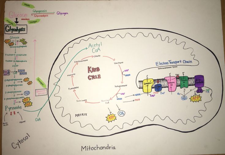 Metabolism  Biochemistry Poster Project  Glycolysis  Krebs