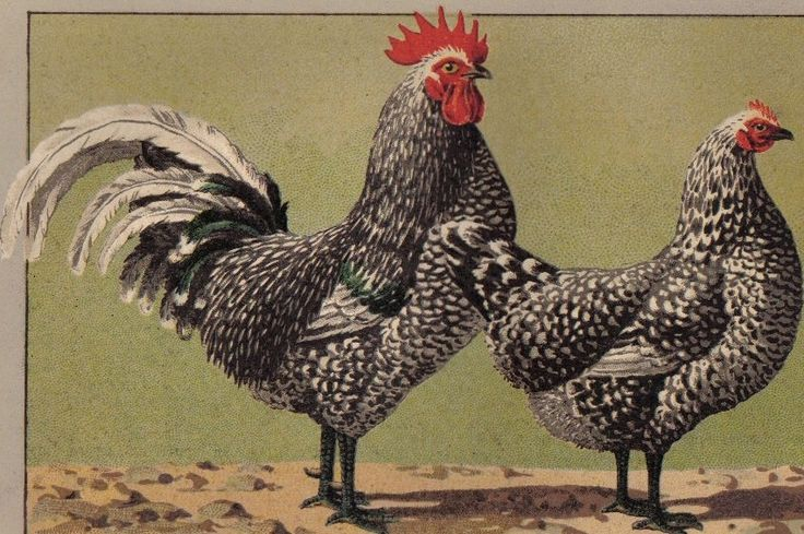 Java Chicken | Mottled Java Chicken