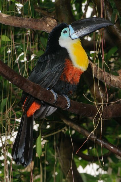 The Channel-billed Toucan is distributed throughout most of the Amazon Basin with a disjunct population in eastern Brazil.