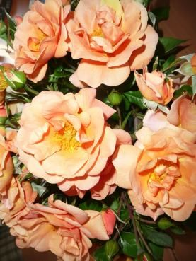 TOGETHER FOREVER (Dicecho) 2006            £8.50 The buds and young blooms of this floribunda variety are orange with a yellow centre, gradually turning to pale peach / pink. This rose has been named by Mrs. Christine Royle of Leigh in Lancashire in memory of her late parents who enjoyed a long and happy marriage and also to celebrate her own marriage.  Her mother died in August '04, the same month in which Mrs. Royle was married and she felt the timing was perfect to name a rose.
