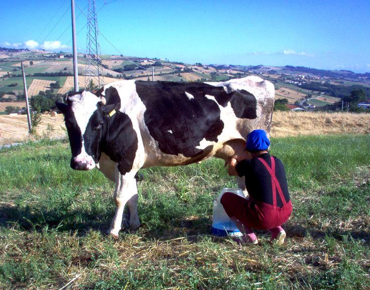 Il Latte dell'Appennino Campano è un latte fresco, crudo o pastorizzato, prodotto da bovini che si alimentano prevalentemente con foraggi composti da erba e fieno e producono una media di stalla di circa 5 mila litri l'anno. Per questo non solo è più gustoso, ma è anche molto ricco di importanti componenti nutrizionali e di antiossidanti. Per saperne di più sui punti vendita più vicini a voi contattateci: info@latteappenninocampano.it +39 3341624864