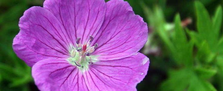Geranium sanguineum by Calif_Sue
