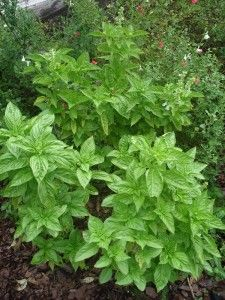 Sweet basil plants in herb garden - tips for pruning and pinching. harvest and storage