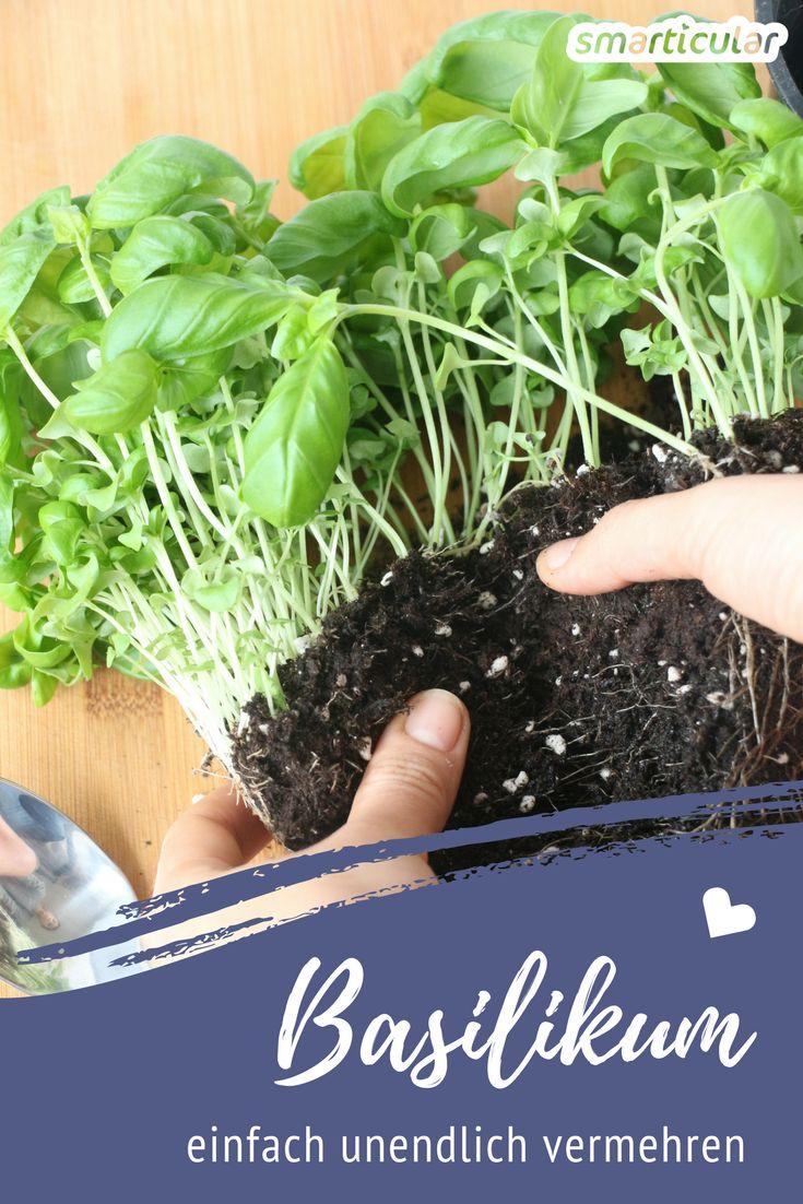 Immer frischer Basilikum: So kannst du ihn unendlich vermehren