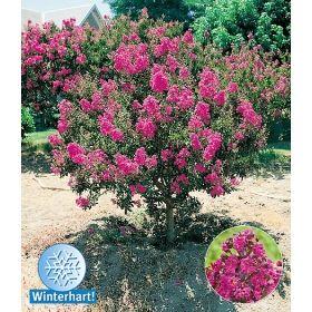 PN3209 Pflanzen - Baum & Strauch - Laubgehölze - Flieder des Südens,1 Pflanze
