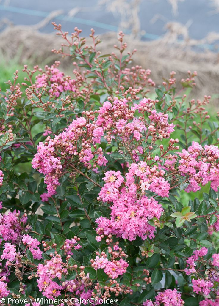 Infinitini® Brite Pink - Crapemyrtle - Lagerstroemia indica