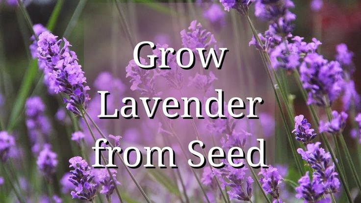 Grow lavender from seed youtube growing lavender