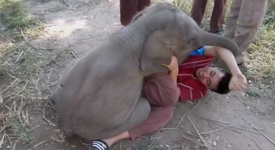 Baby elephant surprises man with the BEST hello ever. I wish it could have been me. (VIDEO) » DogHeirs | Where Dogs Are Family « Keywords: elephant, baby elephant, calf, Chiang Mai
