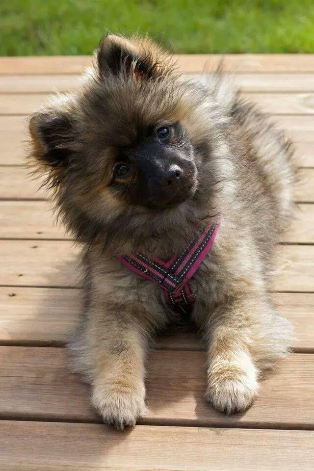 My dog Tia 4 mnd old. Mittelspitz