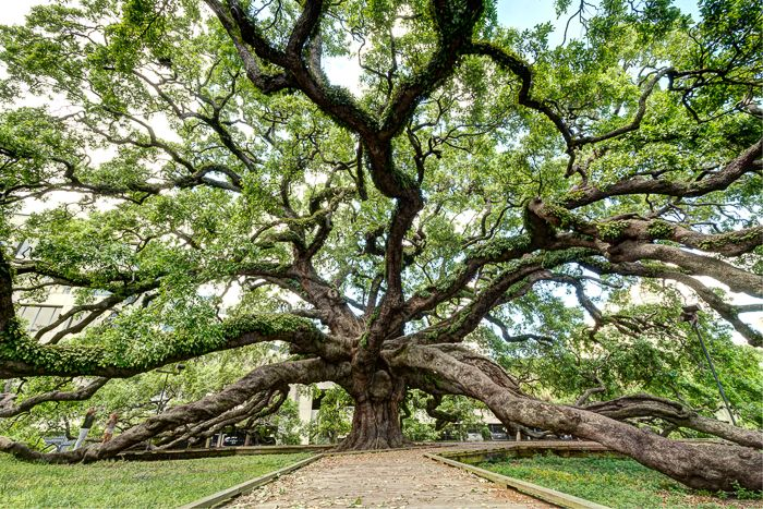 """The Treaty Oak - Jacksonville Florida - A twisted pomegranate, a 250 year old oak that is a field live oak (quercus virginiana) and is the oldest living thing in Jacksonville. It's called """"Treaty Oak"""" because way back in the 1930's a journalist wrote a story claiming that a treaty between the native Floridians and the Spanish had been singed beneath it. This """"journalist"""" made up the story to save the tree from a developers axe. It worked, for many years the story was believed."""