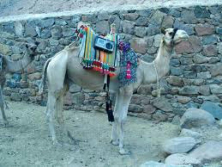 ... 75 cm (30 in) out of its body. Camels can run at up to 65 km/h (40 mph