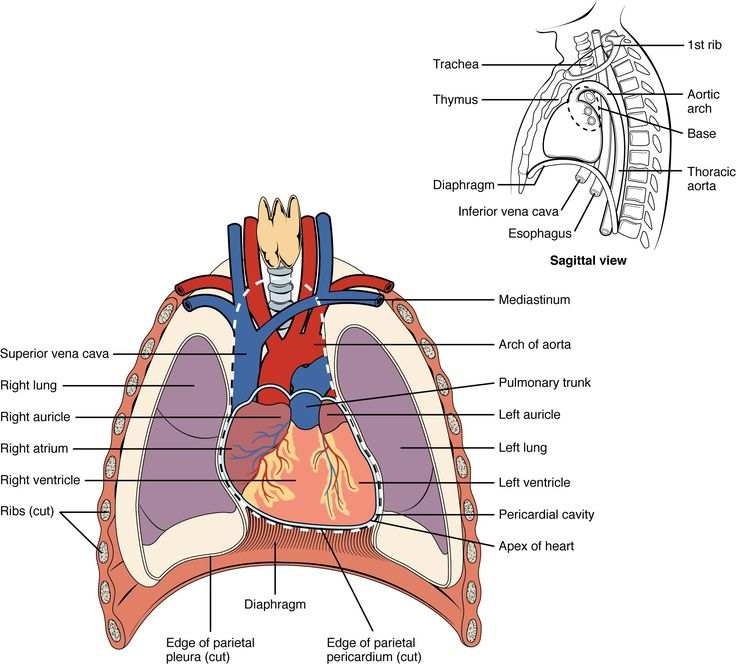 mediastinum - Google Search in 2020 | Anatomy and ...