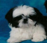 Breeder of high quality Imperial Shih Tzu puppies and Chinese Imperial Dog