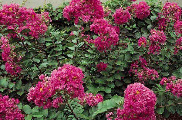 Top 10 Plants for Sandy Soil: Crape Myrtle