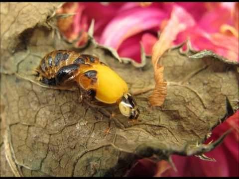 ▶ De geboorte van een lieveheersbeestje / Birth of a ladybug beetle - YouTube